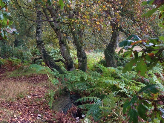Formación vegetal en la transición entre el bosque de robles y un brezal. Se observan troncos de abedul (Betula  pendula) y zarzas y helechos (Pteridium aquilinum) bajo ellos.