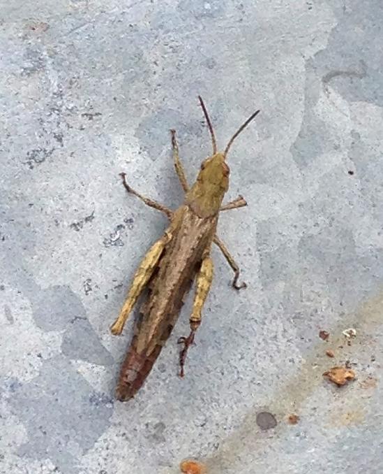 Saltamontes común (Chorthippus brunneus), lo de común hay que tomarlo desde el punto de vista británico.