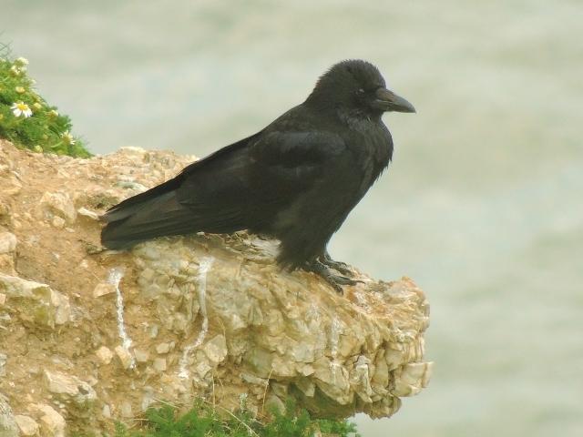Una tranquila corneja negra (Corvus corone) [Carrion Crow] en un risco. La corneja es uno de los dos córvidos que se pueden ver por esta zona, junto a la grajilla (Corvus monedula) [Jackdaw].