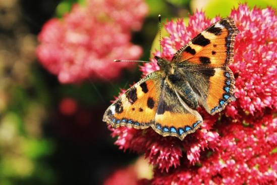 Aglais urticae, ortiguera, sobre un sedum en el jardín. Es una especie muy común en Gran Bretaña y bastante confiada.